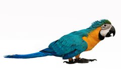 4 Months Blue and Yellow Macaw lovely bright children`s emotions stock image