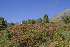 Alpine roses bloom in the Stubai Alps. In the months of June and July, the mountain slopes of the Stubai Alps are covered by a red sea of flowers of alpine rose stock images