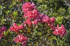 Alpine roses bloom in the Stubai Alps. In the months of June and July, the mountain slopes of the Stubai Alps are covered by a red sea of flowers of alpine rose stock photos