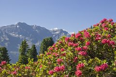 Alpine roses bloom in the Stubai Alps. In the months of June and July, the mountain slopes of the Stubai Alps are covered by a red sea of flowers of alpine rose royalty free stock images