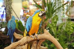 4 Months male blue and yellow macaw parrot in mall . royalty free stock photos
