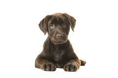 4 months old brown labrador retriever puppy lying down seen from the front, with its paws in front of her and looking straight at. The camera isolated on a Royalty Free Stock Photography