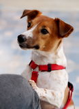 18 months young Jack Russel Royalty Free Stock Photo