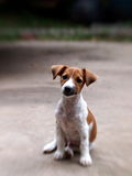 4 months young Jack Russel Stock Images