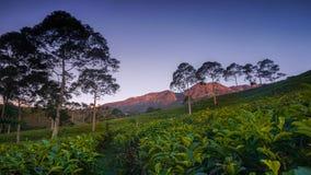 Monti il lawu con l'azienda agricola del tè della priorità alta, i grandi alberi ed il cielo blu Fotografie Stock Libere da Diritti