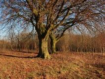 Monticello di sepoltura con gli alberi di faggio nell'inverno immagine stock