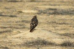 Monticello rosso della marmotta di Hawk Perched On A della coda, Waitng per pranzo immagine stock libera da diritti