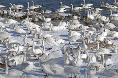 Monticello trumpeter swans. Gathered near the river Royalty Free Stock Photo
