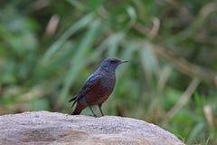 Monticola solitarius, Blue Rock Thrush Royalty Free Stock Photography