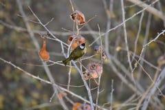 Monticolus do Parus na árvore de caqui fotografia de stock royalty free