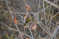 Monticolus do Parus na árvore de caqui imagens de stock royalty free