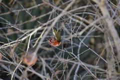 Monticolus Parus στο persimmon δέντρο Στοκ Εικόνα