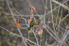 Monticolus Parus στο persimmon δέντρο Στοκ εικόνες με δικαίωμα ελεύθερης χρήσης