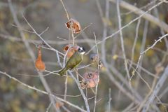 Monticolus Parus στο persimmon δέντρο Στοκ φωτογραφία με δικαίωμα ελεύθερης χρήσης