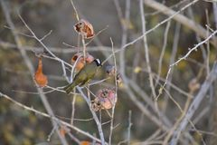 Monticolus Parus στο persimmon δέντρο Στοκ Εικόνες