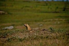 Monticule de chien de prairie Image stock