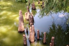 Monticules de Toltec - genoux de Cypress photo libre de droits