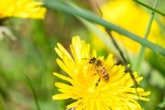 Montieren des Blütenstaubs Stockfotografie
