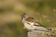 montifringil snowfinch λευκό φτερωτό Στοκ Εικόνες