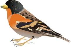 Montifringilla del Fringilla ilustración del vector