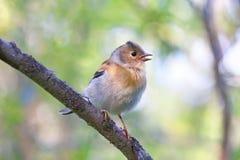 Montifringilla do Fringilla Um pássaro novo com um bico aberto Foto de Stock Royalty Free