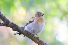 Montifringilla do Fringilla Um pássaro novo em Yamal Foto de Stock Royalty Free
