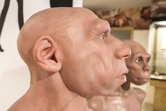 Life-sized Neanderthal bust. From the side. Montilla, Spain - March 2nd, 2019: Life-sized Neanderthal bust at Montilla Local History Museum, Cordoba, Spain stock photos