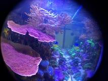 Montipora Coral Reef Tank, ojo de pescados, vista lateral Imágenes de archivo libres de regalías