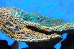 Montipora korall Royaltyfri Bild