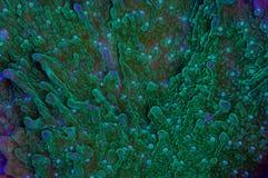 Montipora-Koralle Stockbild