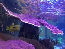 Montipora-Koralle auf einem Riff-Behälter stockfoto