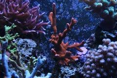 Montipora sps coral