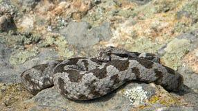 Montivipera xanthina -无背长椅蛇蝎 免版税库存图片