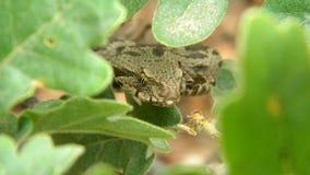 Montivipera xanthina -无背长椅蛇蝎 免版税库存照片