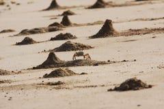 Montones del cangrejo del fantasma Fotografía de archivo