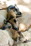 Montoni di sonno Fotografia Stock Libera da Diritti