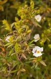 Montpellier Cistusväxt med den falska blåsaskalbaggen arkivbild