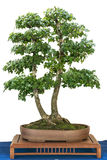 Montpellier maple as bonsai tree Royalty Free Stock Photos