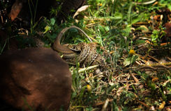 Montpellier snake attacking a lizard Royalty Free Stock Images