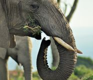 Montre d'éléphant de début de la matinée Photographie stock