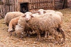 Montre de moutons image libre de droits