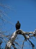 Montre du vautour moine Image libre de droits
