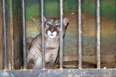 Montres de puma avec l'intérêt de sa cage au zoo images libres de droits