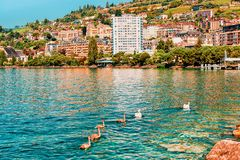 Montreux, Switzerland - August 28, 2016: Montreux town landscape and swans on Geneva Lake, Swiss Riviera. Montreux, Switzerland - August 28, 2016: Montreux town stock photography