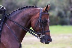 Montrez le cheval Image stock