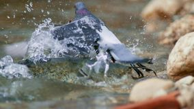 A montrous wels catfish waits for pigeons and other preys in shallow water in Albi in the south of France stock photos