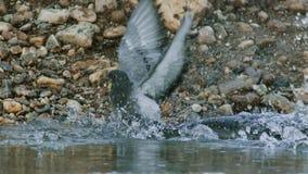 Montrous wels sum czekać na gołębie i innych zdobycze w płytkiej wodzie w Albi w południe Francja zdjęcia royalty free