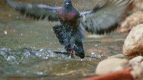 Montrous wels sum czekać na gołębie i innych zdobycze w płytkiej wodzie w Albi w południe Francja fotografia stock