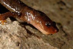 Montseny brook salamander Calotriton arnoldi in Montseny, Gerona, Spain Stock Image