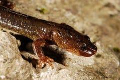 Montseny brook salamander Calotriton arnoldi in Montseny, Gerona, Spain Stock Images